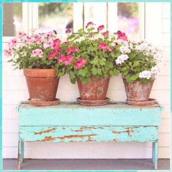 Best tips for how to care geraniums in winter to stay beautiful roses gardens gates
