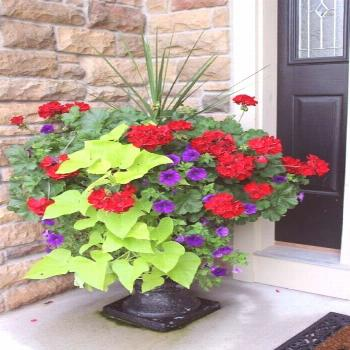 Geraniums In Pots Front Porches Annual plants Annual plants    geraniums in pots front porches, ger