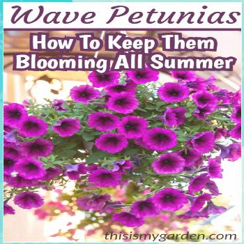 How to Keep Your Wave Petunias Blooming & Booming all summer long! flowers plants vegetable gardeni