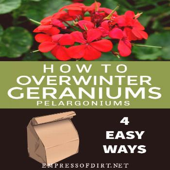 How to Overwinter Geraniums (Pelargoniums) There are four easy ways to keep your favorite geraniums