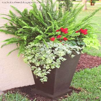 Large container with sun fern geraniums sweet potato vine and ivy - front garden ...#container