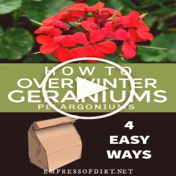 There are four easy ways to keep your favorite geraniums (Pelargoniums) safe for the winter and rep