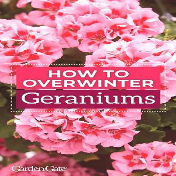 Want to save your geraniums for next year? Check out our helpful how to tips & video
