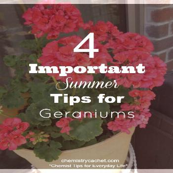 We are sharing very important summer tips for geraniums to keep them healthy in the summer heat! Ge