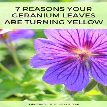 Why Are My Geranium Leaves Turning Yellow? (7 Potential Reasons to Consider) Are your geranium leav