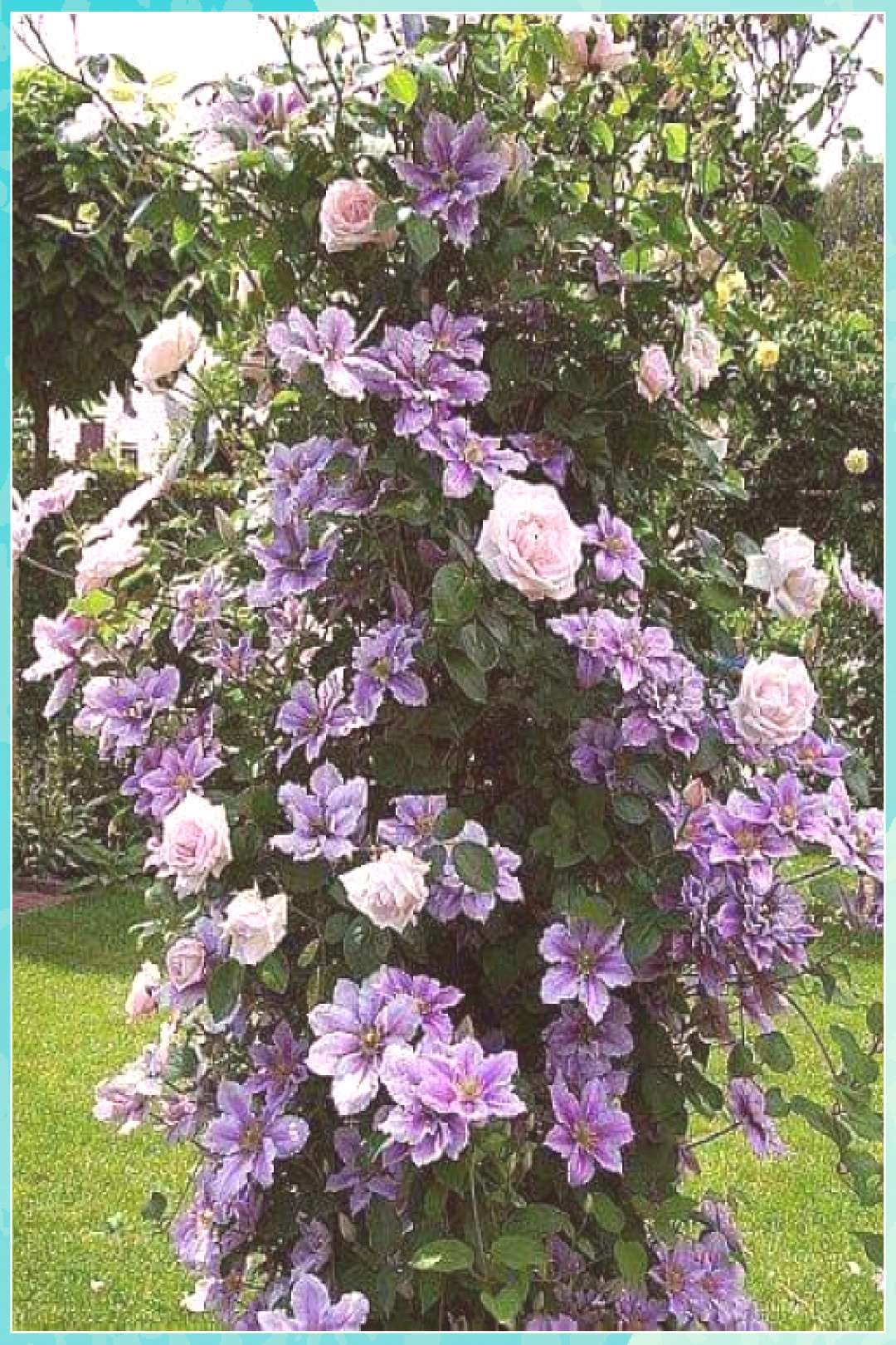 Clematis uses Rose bush to grow on. Beautiful roses gardens gates
