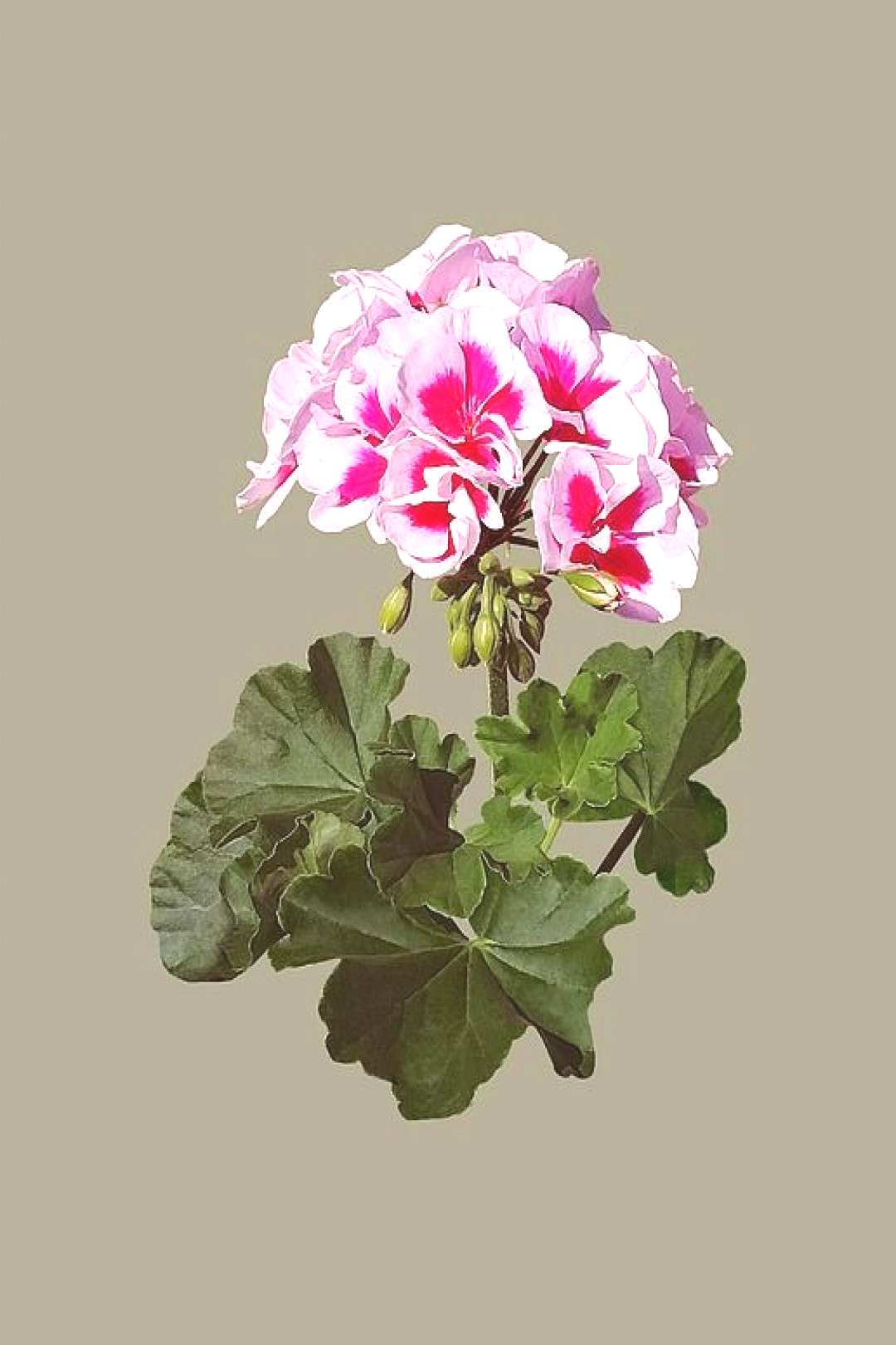 Geraniums Meaning Vines - -