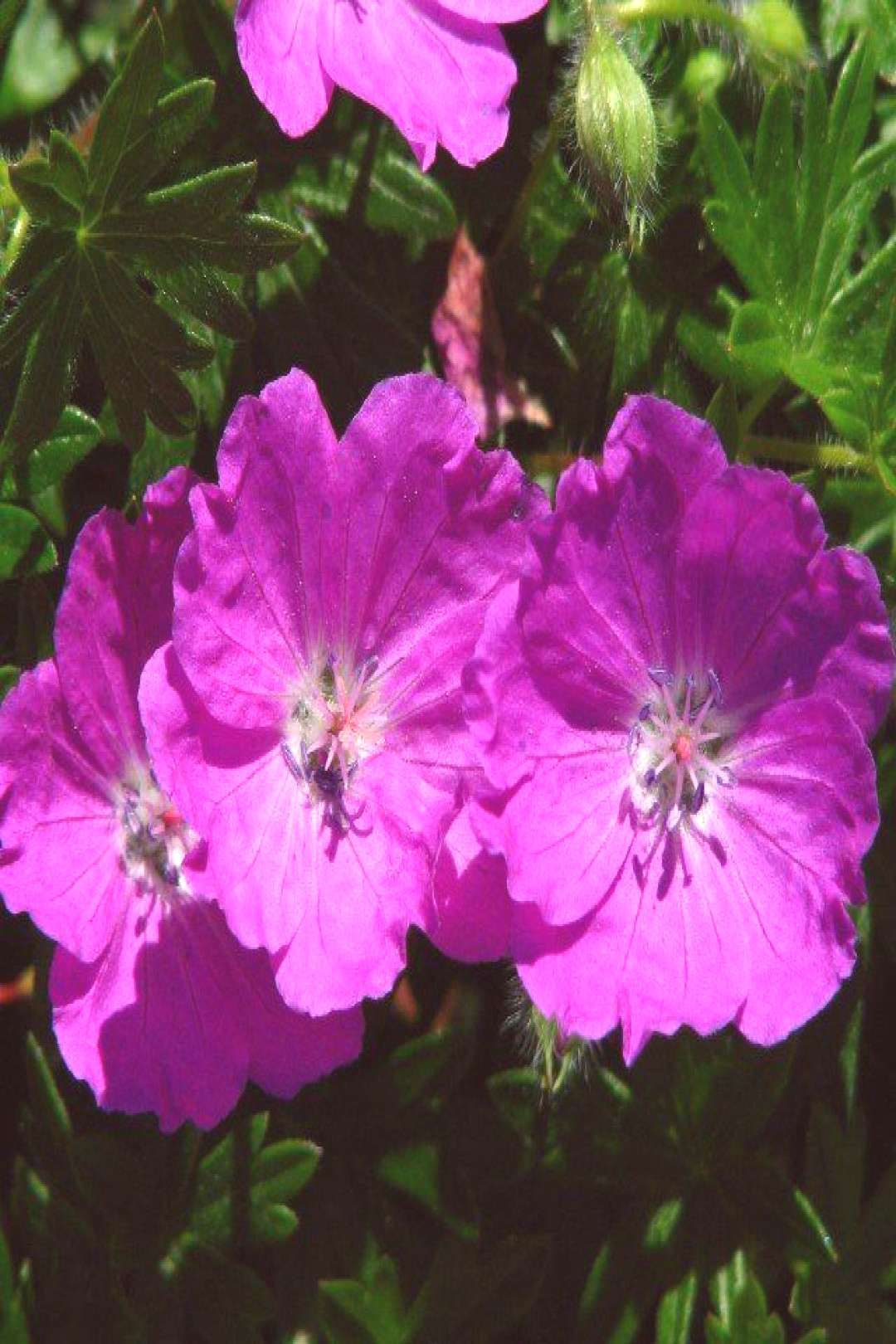 Geraniums Vivace Container Gardening#container