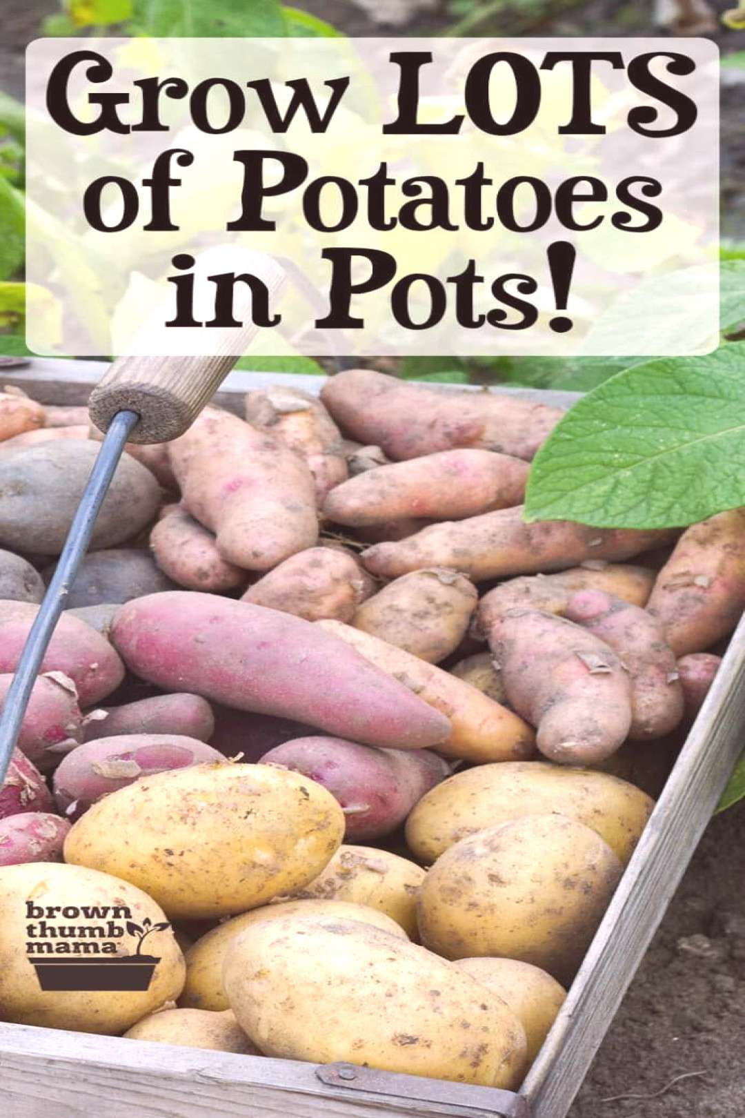 Grow Potatoes in Containers -  Growing potatoes in containers is the easiest way to get a huge harv