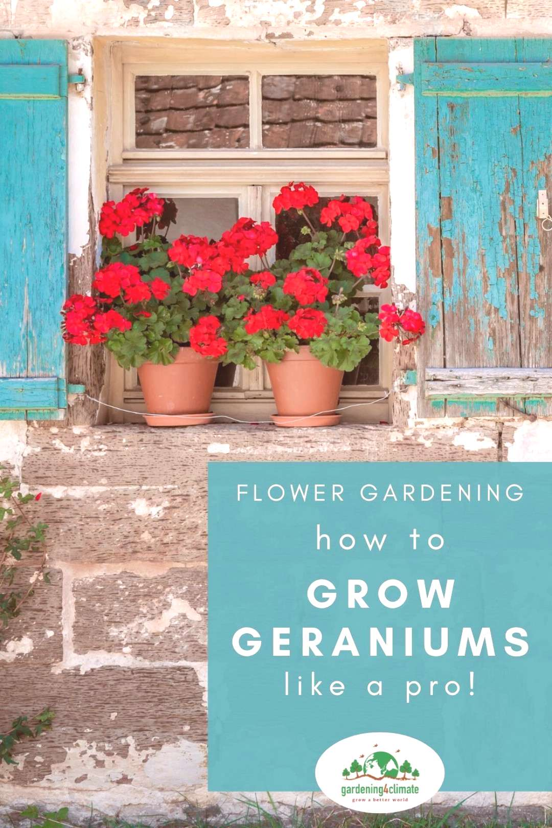 Growing Geraniums - Learn how to keep them flowering all summer! Keeping your Geraniums flowering a