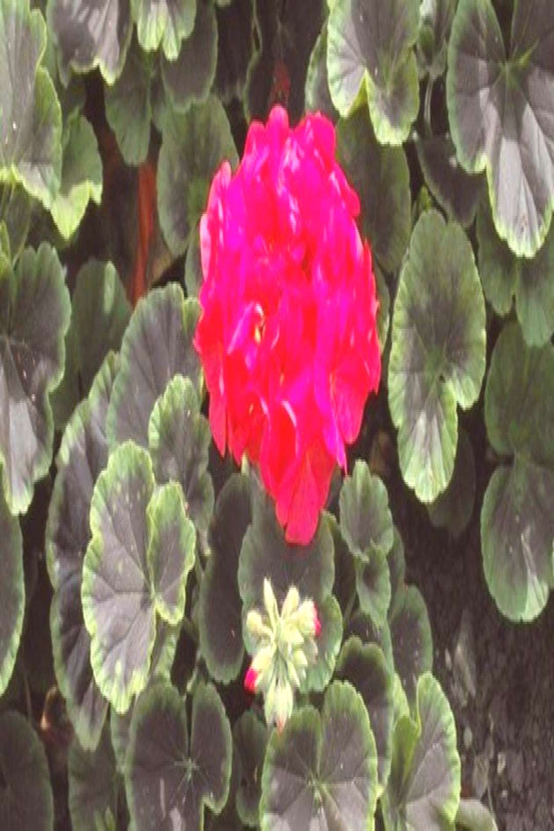How to Trim Geraniums So They Bloom Again