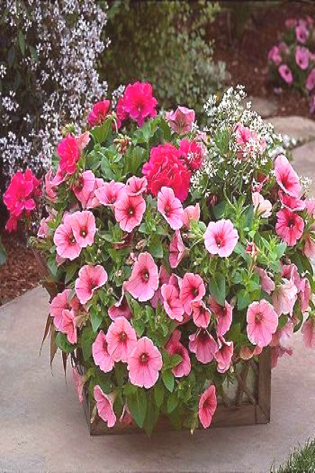 Magenta geraniums, pink petunias, euphorbia Diamond Frost - I want this combo in...#combo