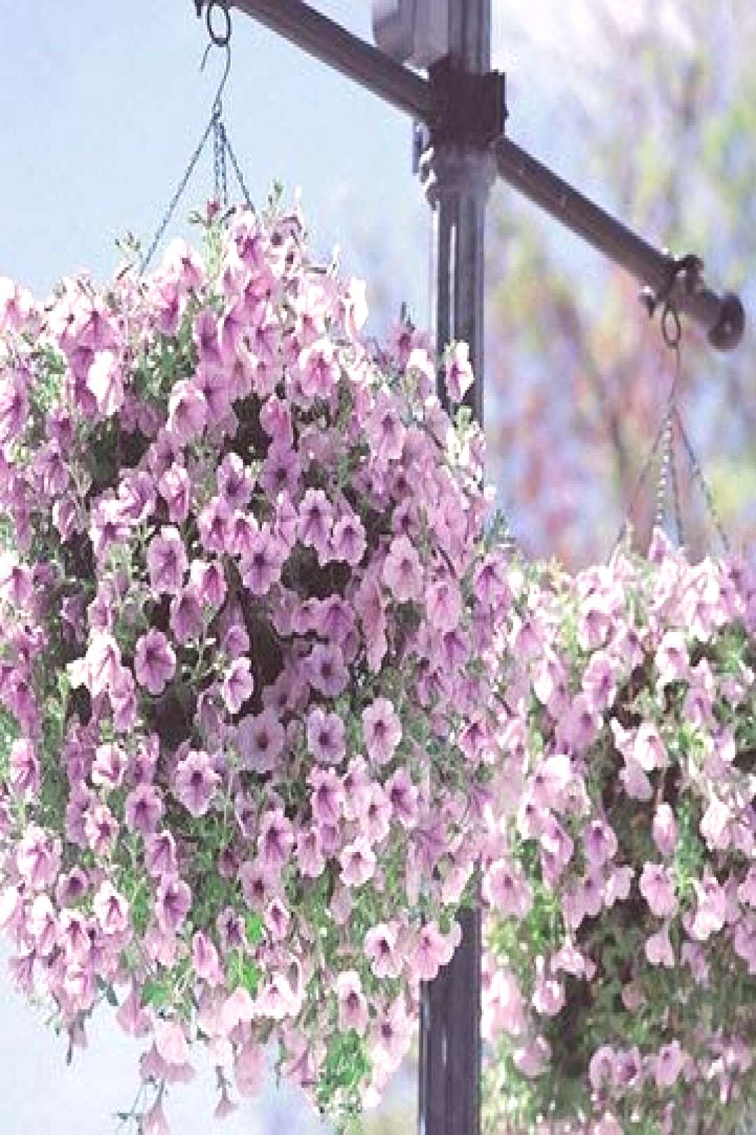 Petunia Seeds Bonsai Seeds Rare Variety Hardy Lasting Balcony Yard Flowers Seeds Easy to Grow for H