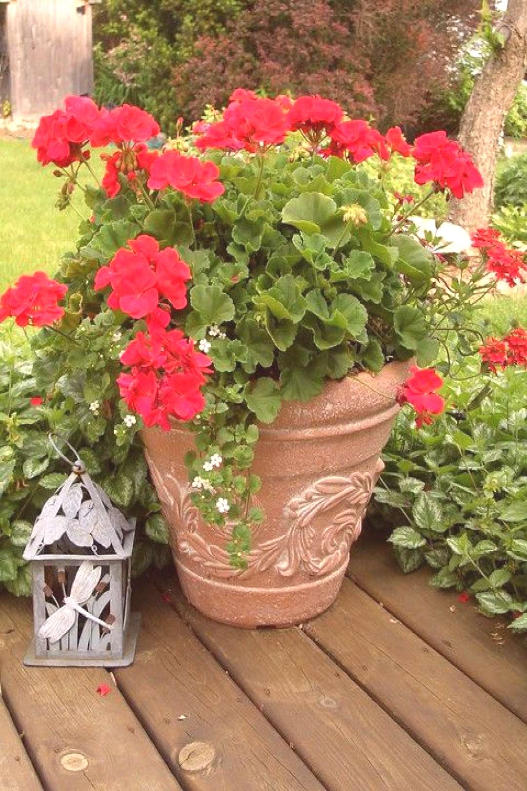 Red Geranium | Lovely red potted geranium and lantern | Shelly T. | Flickr