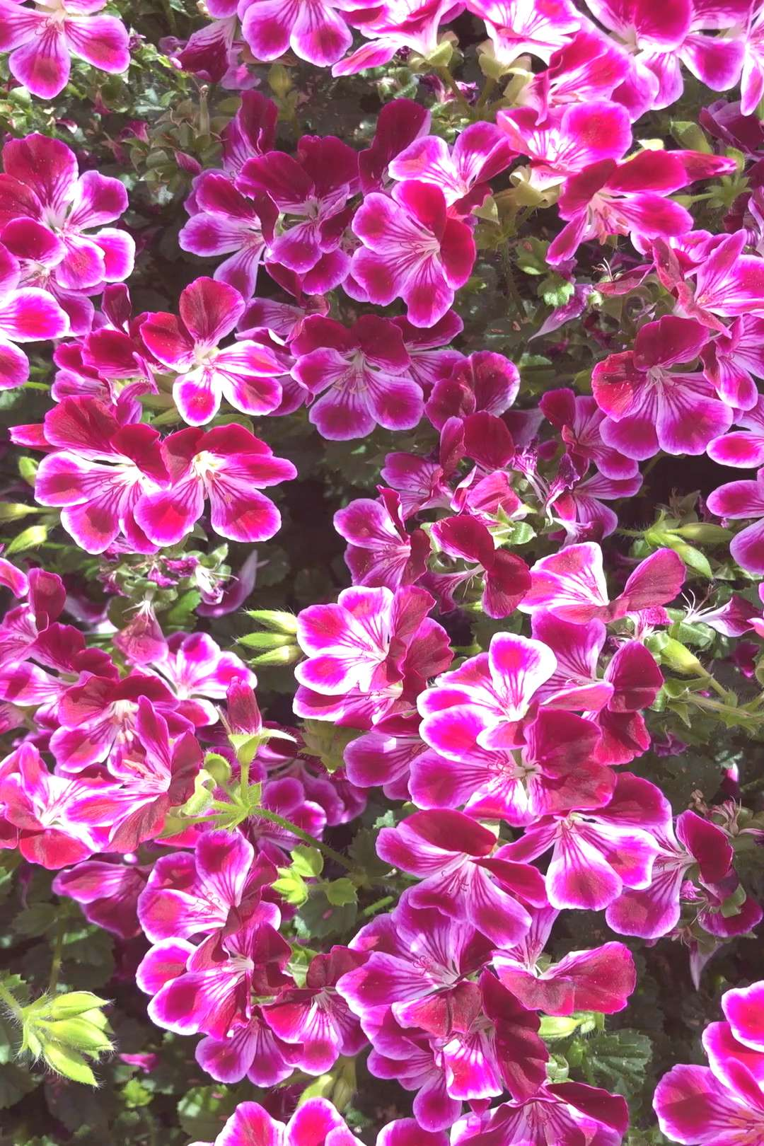 Volmary® geraniums for beds and balconies#balconies
