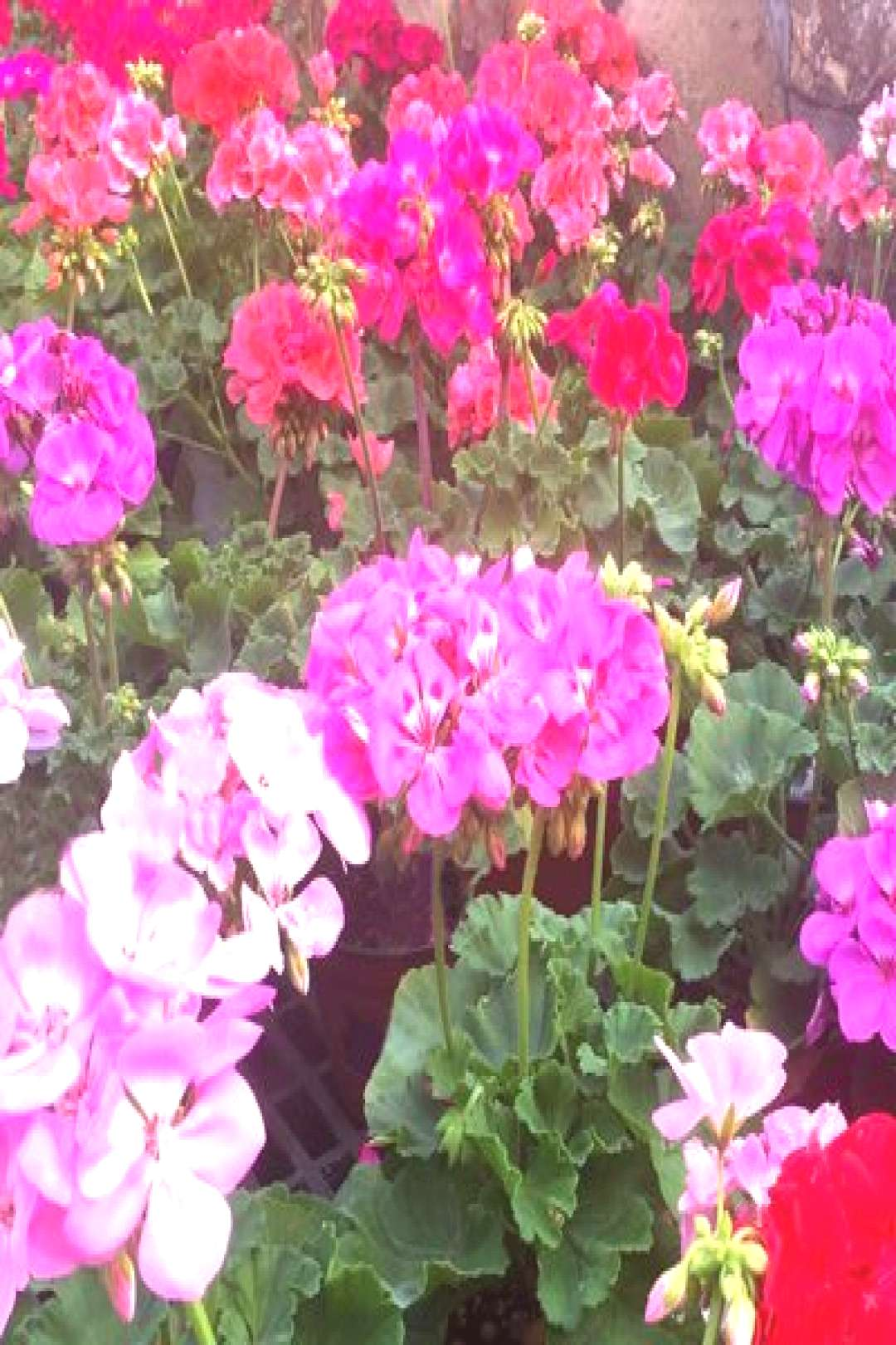 We didn't have a lot of geraniums when I was a kid. But they were in all the g... -  We didn't